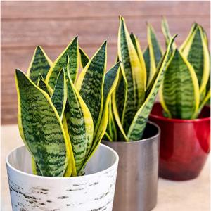 Plants for Pets 金邊虎尾蘭綠植 @ Amazon