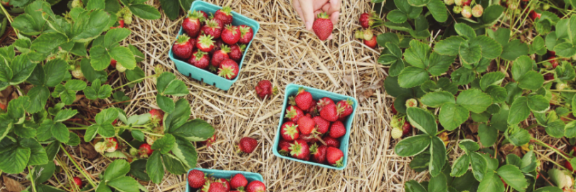 2021加拿大U-Pick水果农场盘点(各水果采摘时间+地点+电话+采摘价格)- 多伦多&温哥华水果采摘指南!